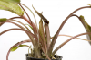 Cryptocoryne wendtii Florida Sunset