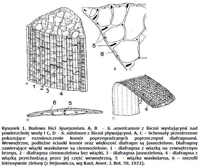 Przystosowania Anatomiczne I Morfologiczne Roslin Do Srodowiska Wodnego