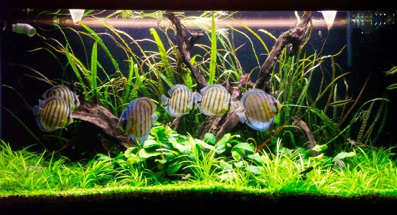 Piante da acquario con discus for Piante per acquario online