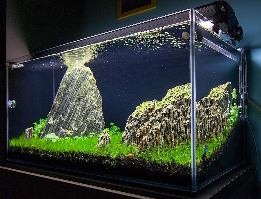 Bojownik W Akwarium Roślinnym